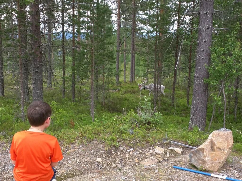 Rendieren kijken in Noord-Dalarna