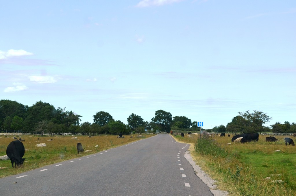 Koeien op Oland
